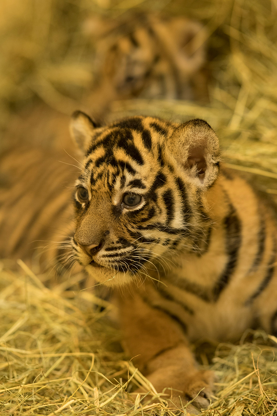 One of Sohni's beautiful cubs