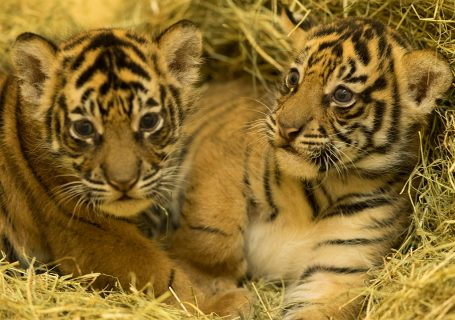 Baby Tiger Cubs at Animal Kingdom