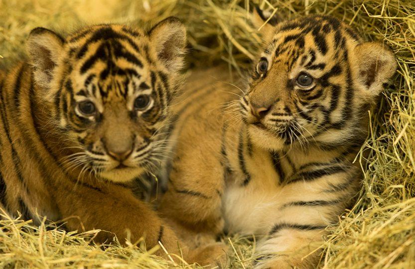 Baby Tiger Cubs at Animal Kingdom